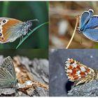 Tagfalter erfreuen unsere Herzen! (22) - Un regard en arrière et en avant: papillons.