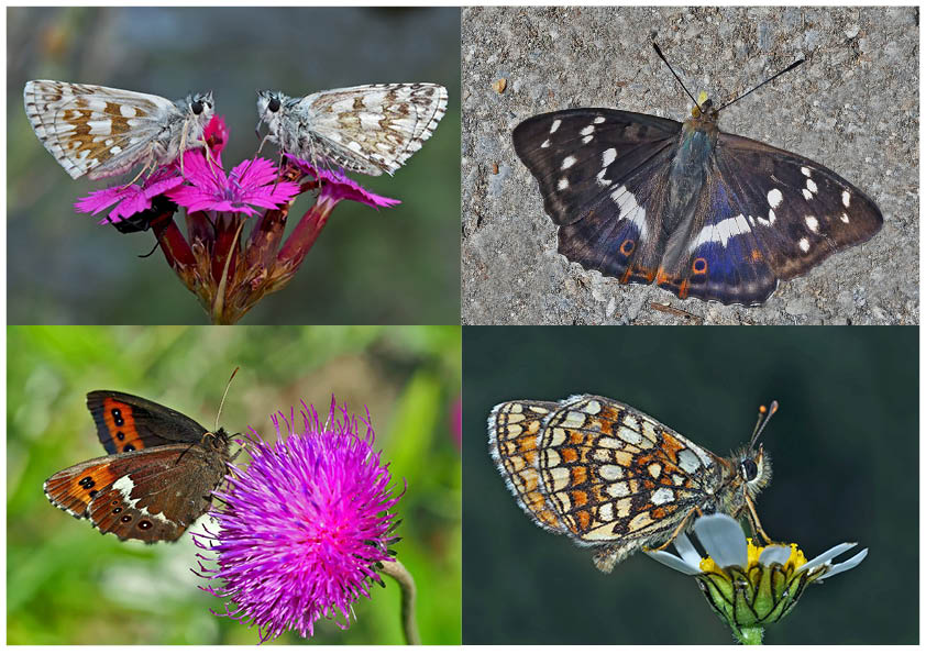 Tagfalter erfreuen unsere Herzen! (24) - Un regard en arrière et en avant: papillons.