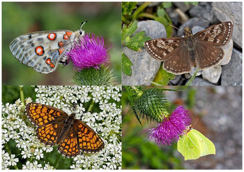 Tagfalter erfreuen unsere Herzen! (26) - Un regard en arrière et en avant: papillons.