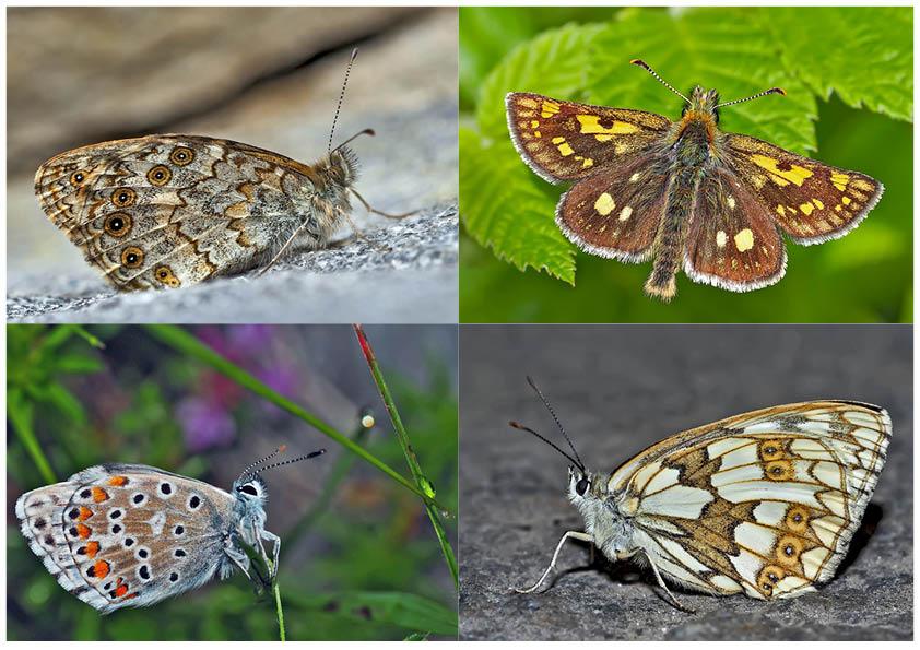 Tagfalter erfreuen unsere Herzen! (27) - Un regard en arrière et en avant: papillons.