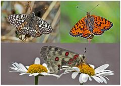Tagfalter erfreuen unsere Herzen! (28) - Un regard en arrière et en avant: papillons.