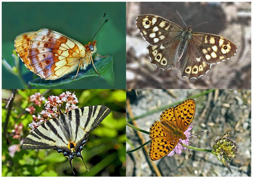Tagfalter erfreuen unsere Herzen! (3) - Un regard en arrière et en avant: papillons.