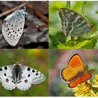 Tagfalter erfreuen unsere Herzen! (4) - Un regard en arrière et en avant: papillons.