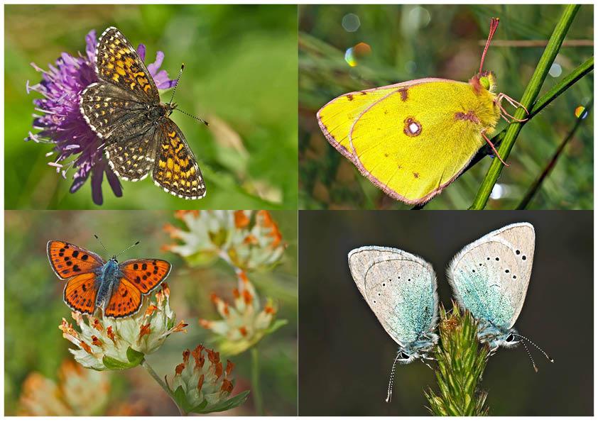 Tagfalter erfreuen unsere Herzen! (5) - Un regard en arrière et en avant: papillons.