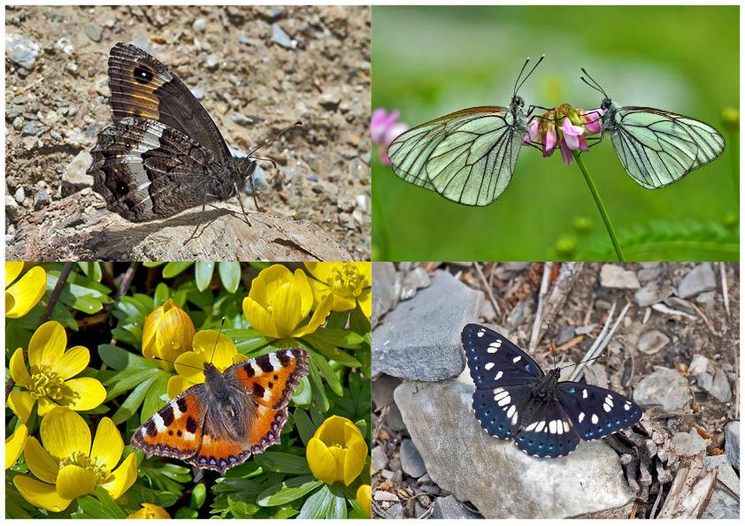 Tagfalter erfreuen unsere Herzen! (6) - Un regard en arrière et en avant: papillons.