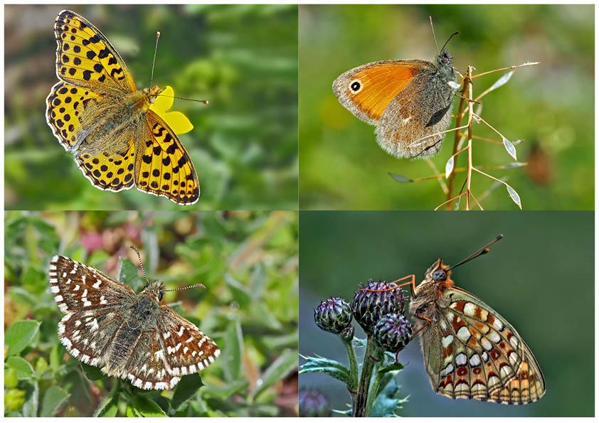 Tagfalter erfreuen unsere Herzen! (7) - Un regard en arrière et en avant: papillons.