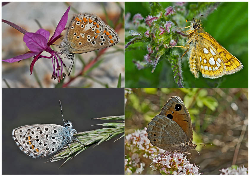 Tagfalter erfreuen unsere Herzen! (8) - Un regard en arrière et en avant: papillons.