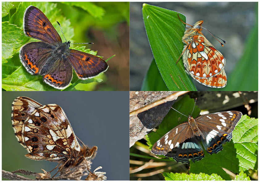 Tagfalter erfreuen unsere Herzen! (9) - Un regard en arrière et en avant: papillons.