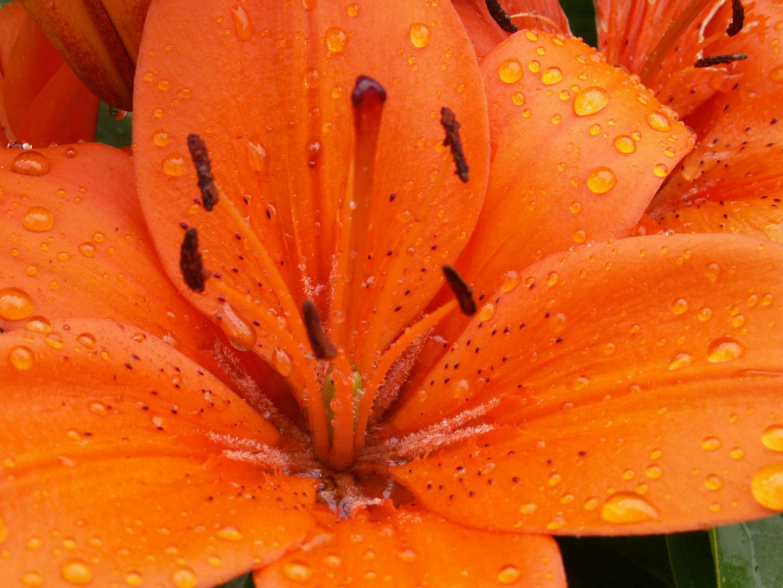 Taglilie im Regen
