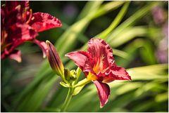 Taglilie im Sonnenlicht