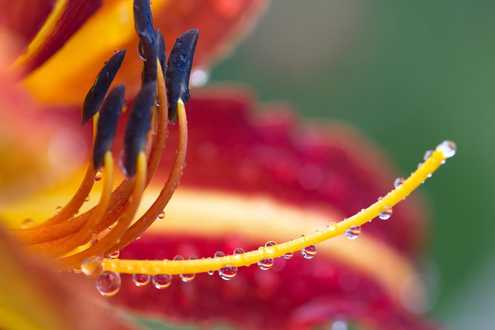 Taglilie nach dem Regen