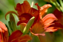 Taglilie Orange