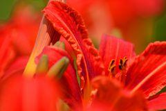 Taglilie Rot