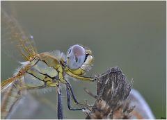 Taglio stretto di libellula