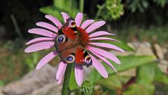 Tagpfauenauge aglais io auf Echinacea purpurea