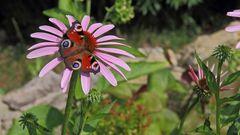 Tagpfauenauge-Aglais io  auf Echinacea purpurea...