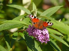Tagpfauenauge an Buddleja-Blüte
