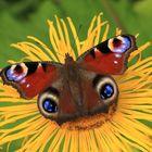 Tagpfauenauge auf der Blüte des Echten Alant