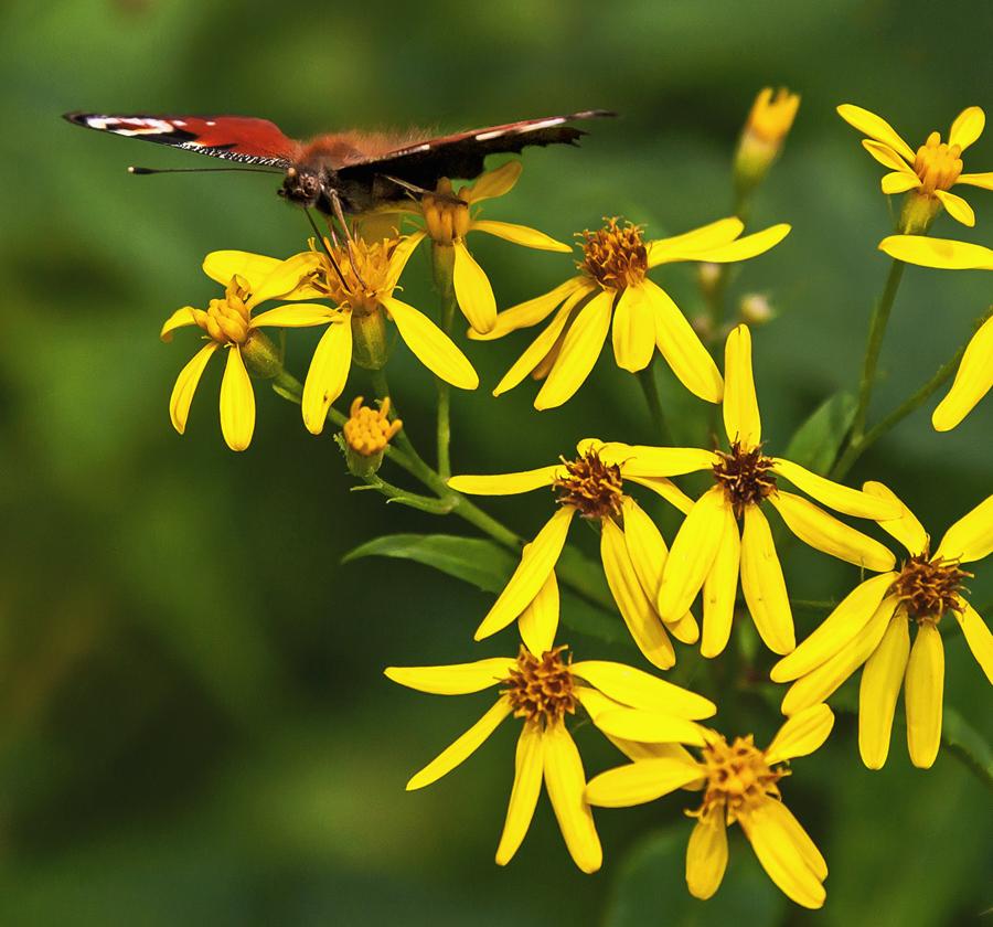 Tagpfauenauge auf gelben Blüten!