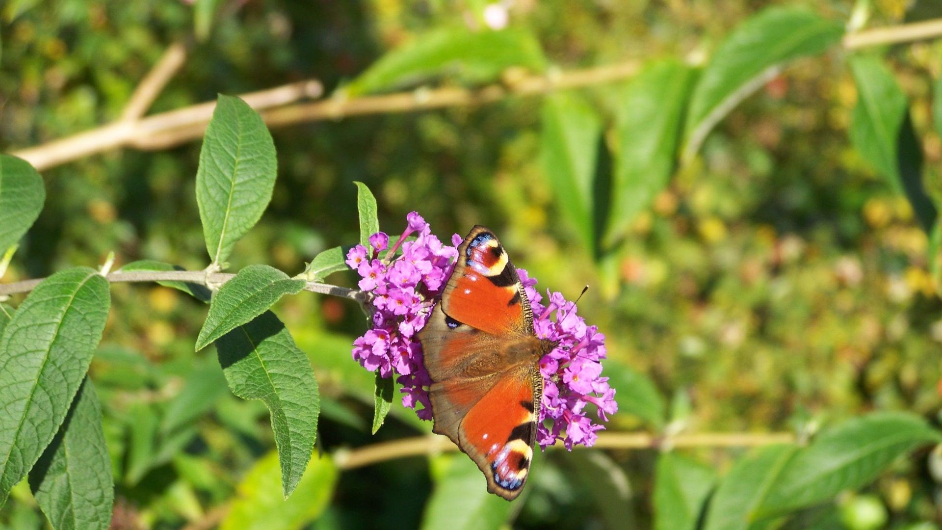 Tagpfauenauge auf Schmetterlingsflieder / le papillon (paon) sur les papilllon lilas