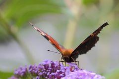 Tagpfauenauge (Inachis io; Nymphalis io) (II)
