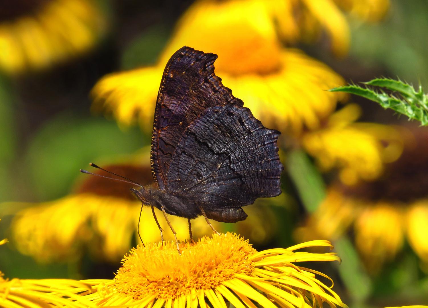 Tagpfauenauge, Unterseite, Inachis io, auf der Blüte des Echten Alant, im Hevetal
