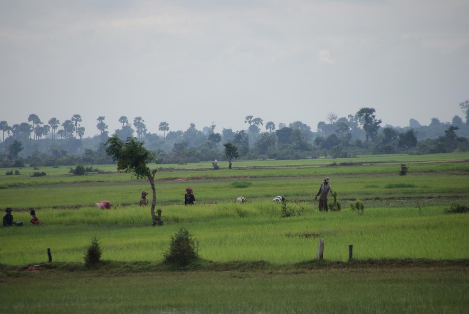 tagwerk im reisfeld, cambodia 2010