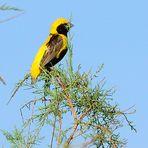 Tahaweber, (Euplectes afer), Yellow-crowned bishop,