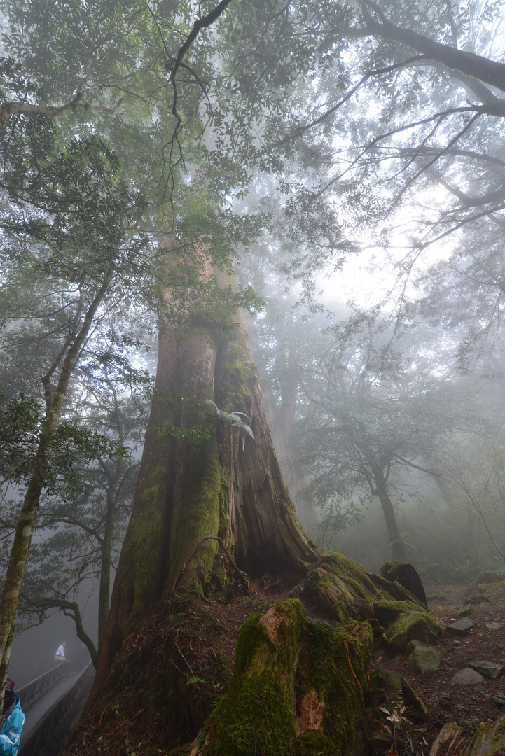 Taiwan Red Cypress