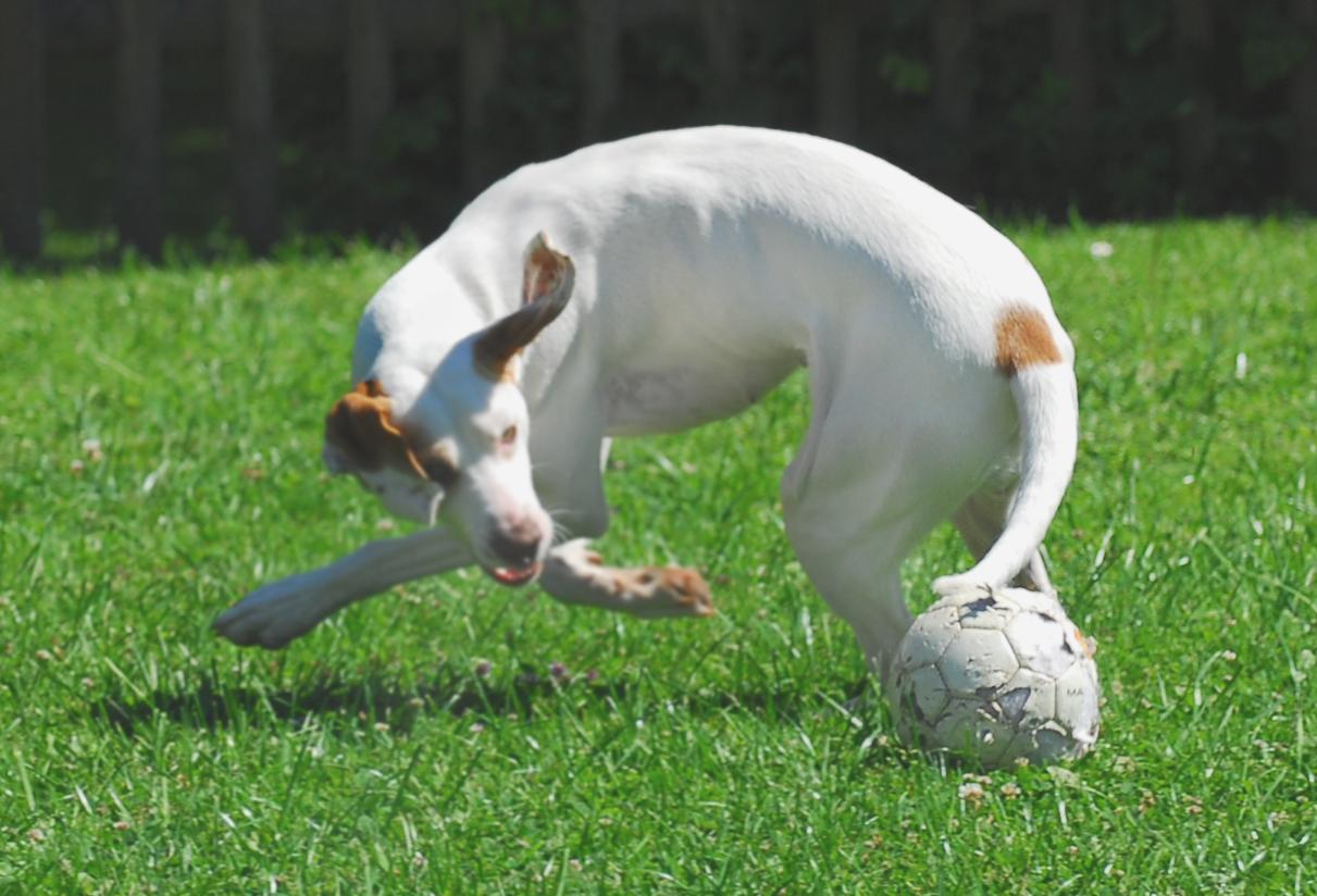 Talentierter Fußballhund