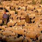 Talvolta,capita di fare come le pecore!!!