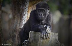 Tambo ein quirliger kleiner Gorilla.....