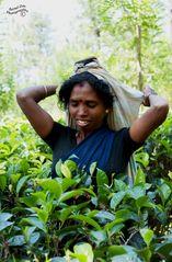 Tamilische Teepfückerin
