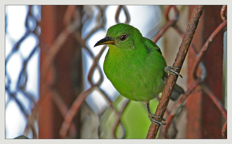 Tanager in grün