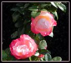 Tandem rose