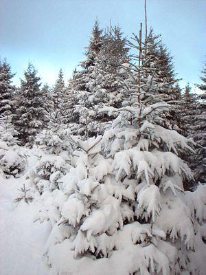 Tannen im Schnee
