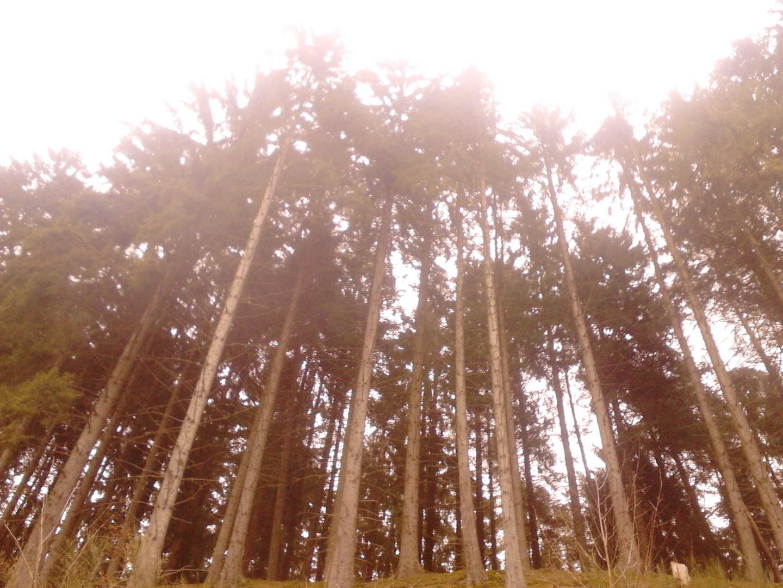 Tannen im Waldstück Müllenborn, Eifel