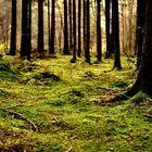 Tannet Herbstwald