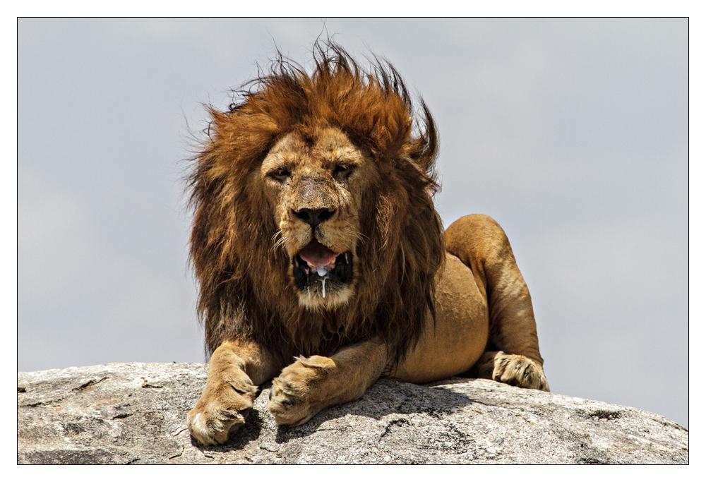 Tansania - 94 - Der König der Löwen