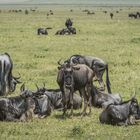 Tansania - Ngorongoro - Gnu-Familie