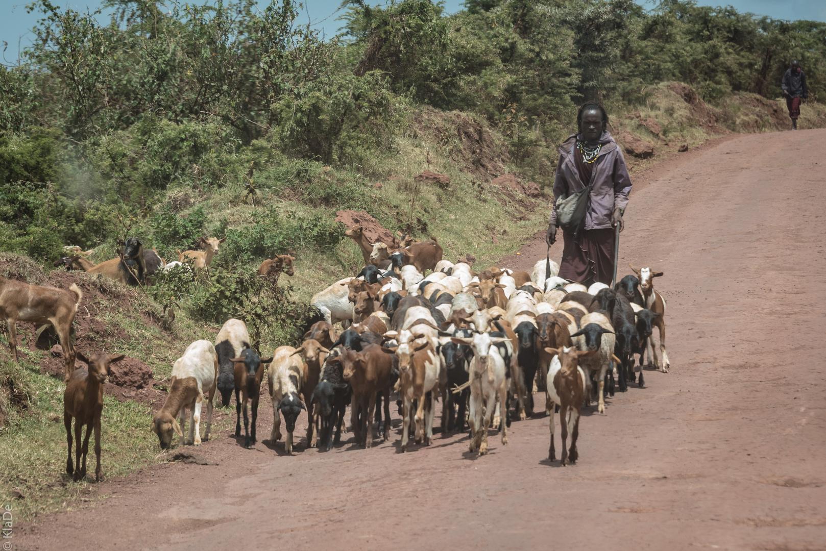 Tansania - Ngorongoro - Massaihirte mit seiner Herde
