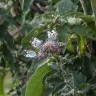 Tansania - Ngorongoro - Schmetterlinge in der Kaffeeplantage