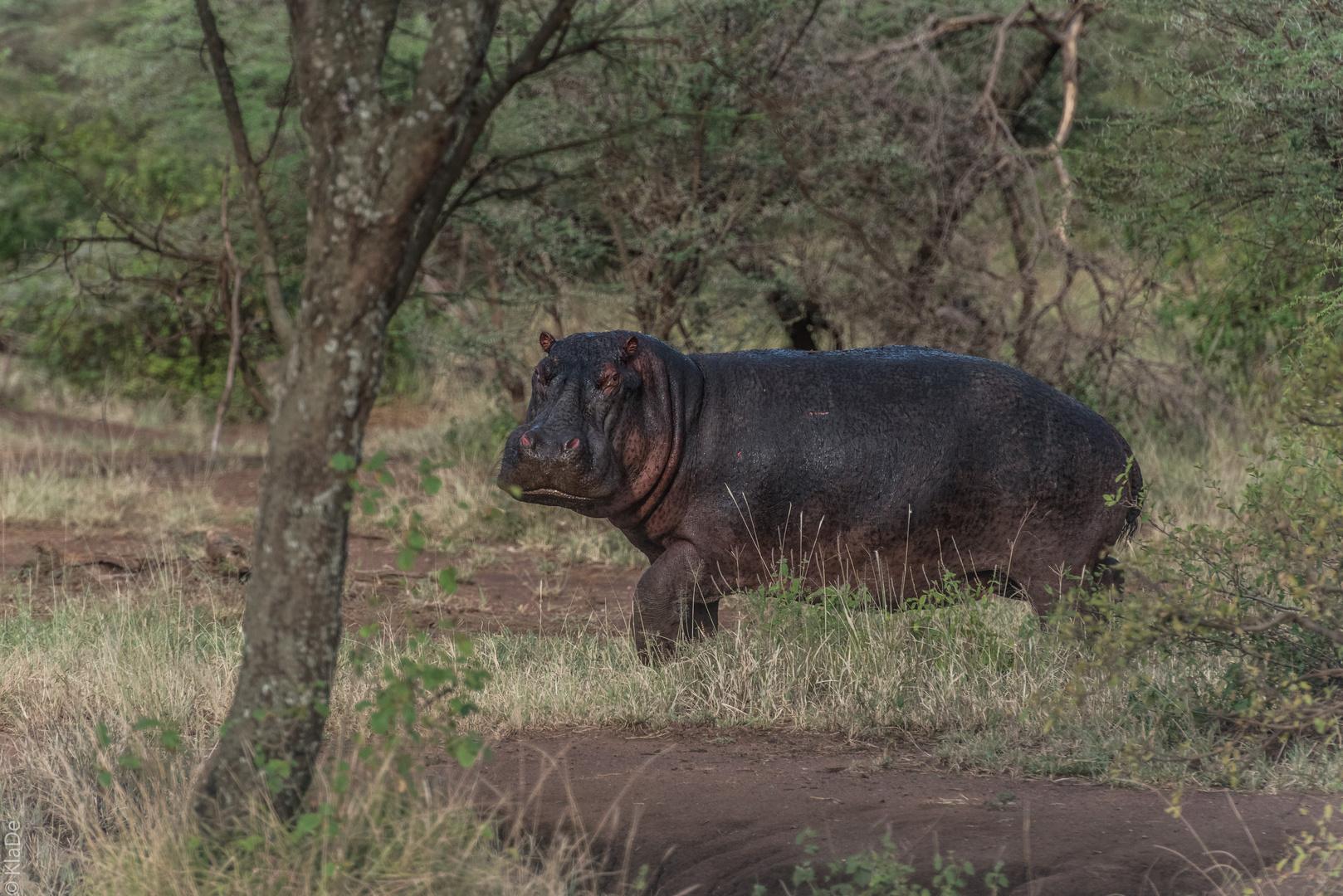 Tansania - Serengeti - Kokette Hippodame