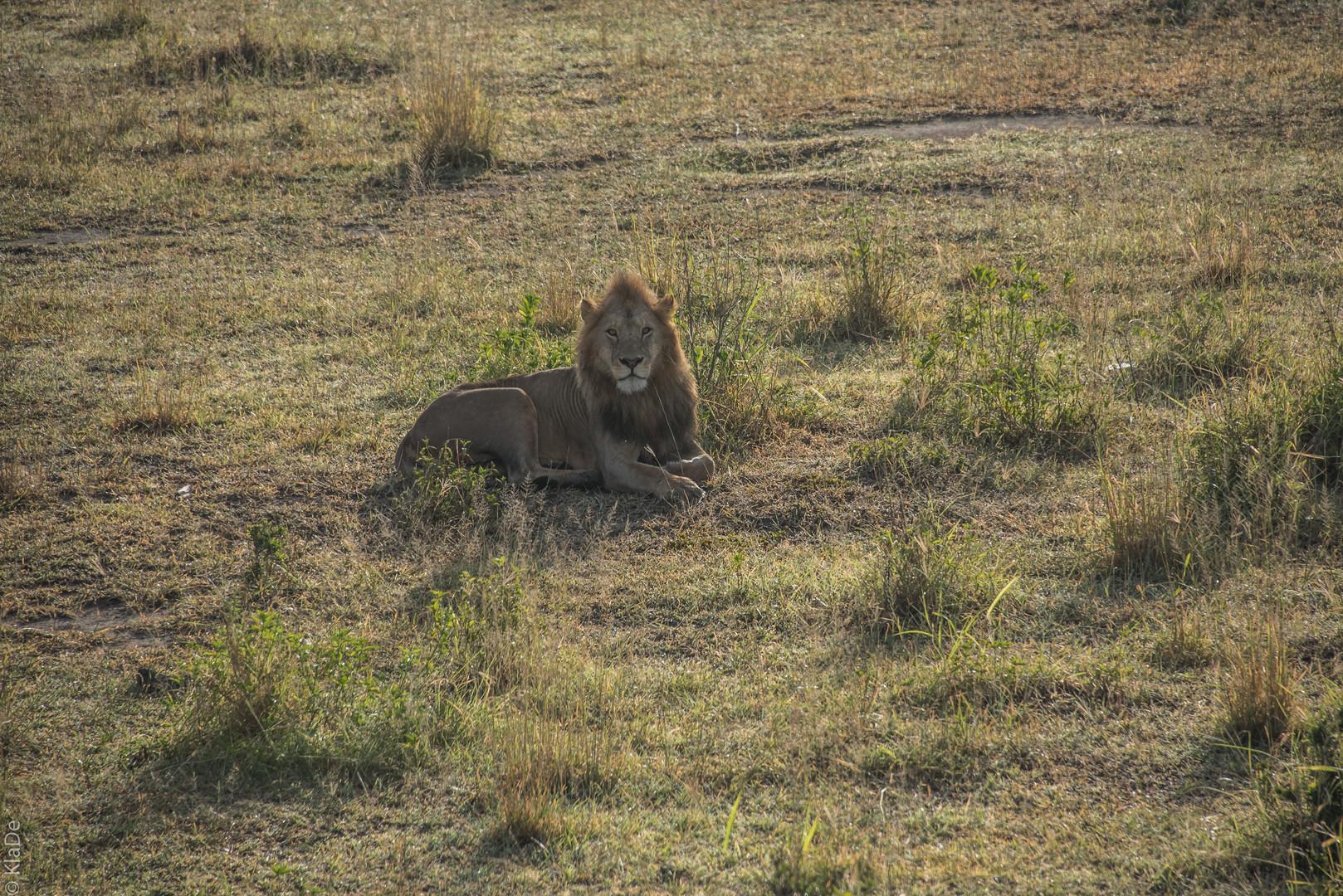 Tansania - Serengeti - Löwen aus der Luft