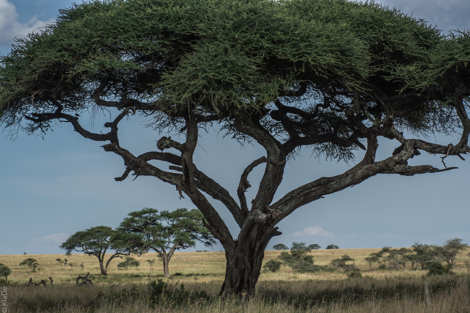 Tansania - Serengeti - Schirmakazie