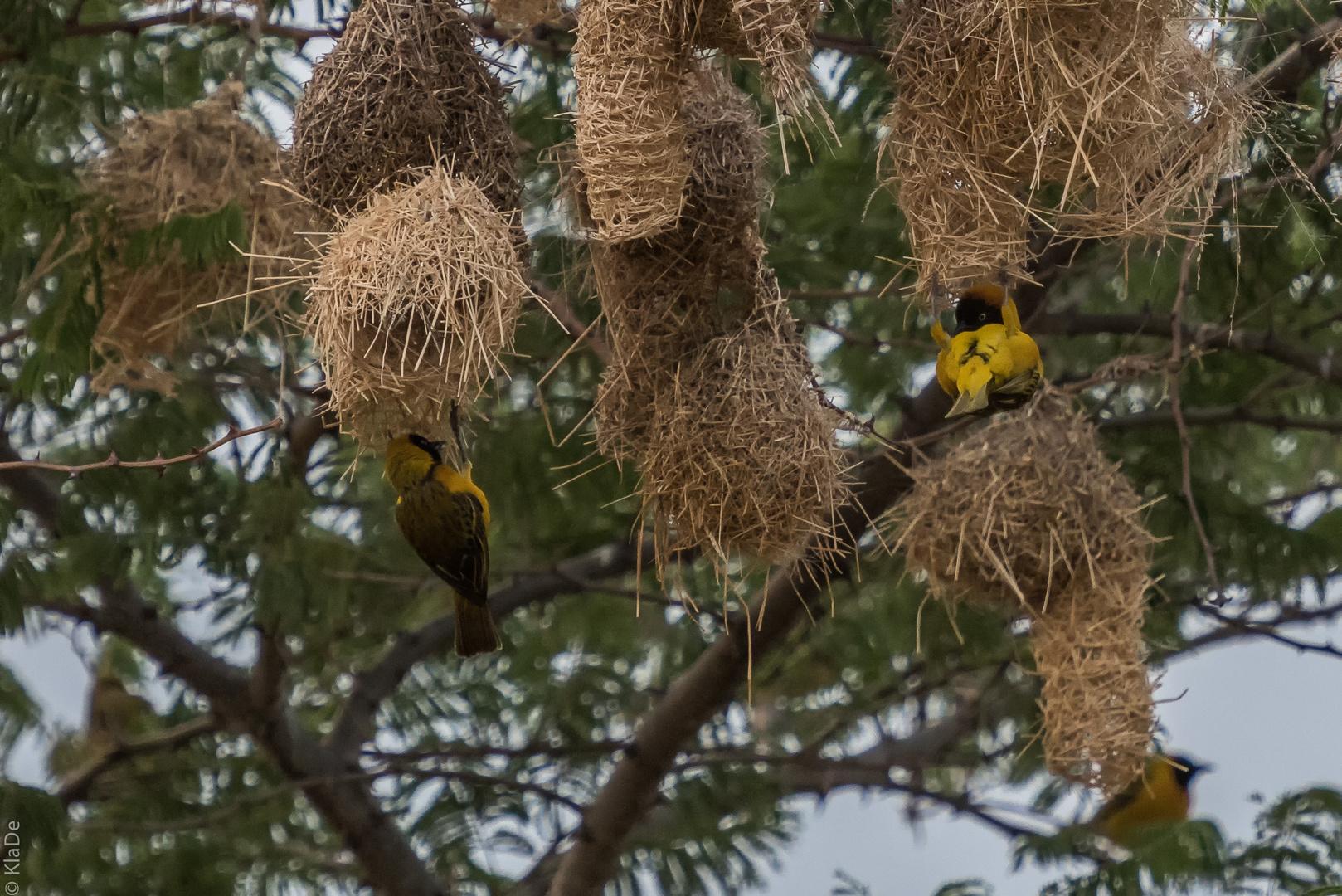 Tansania - Serengeti - Webervögel beim Nestbau