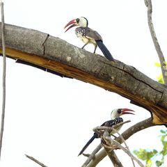 Tansanischer Rotschnabeltoko (Tockus ruaha)