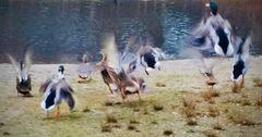 Tanz der Enten