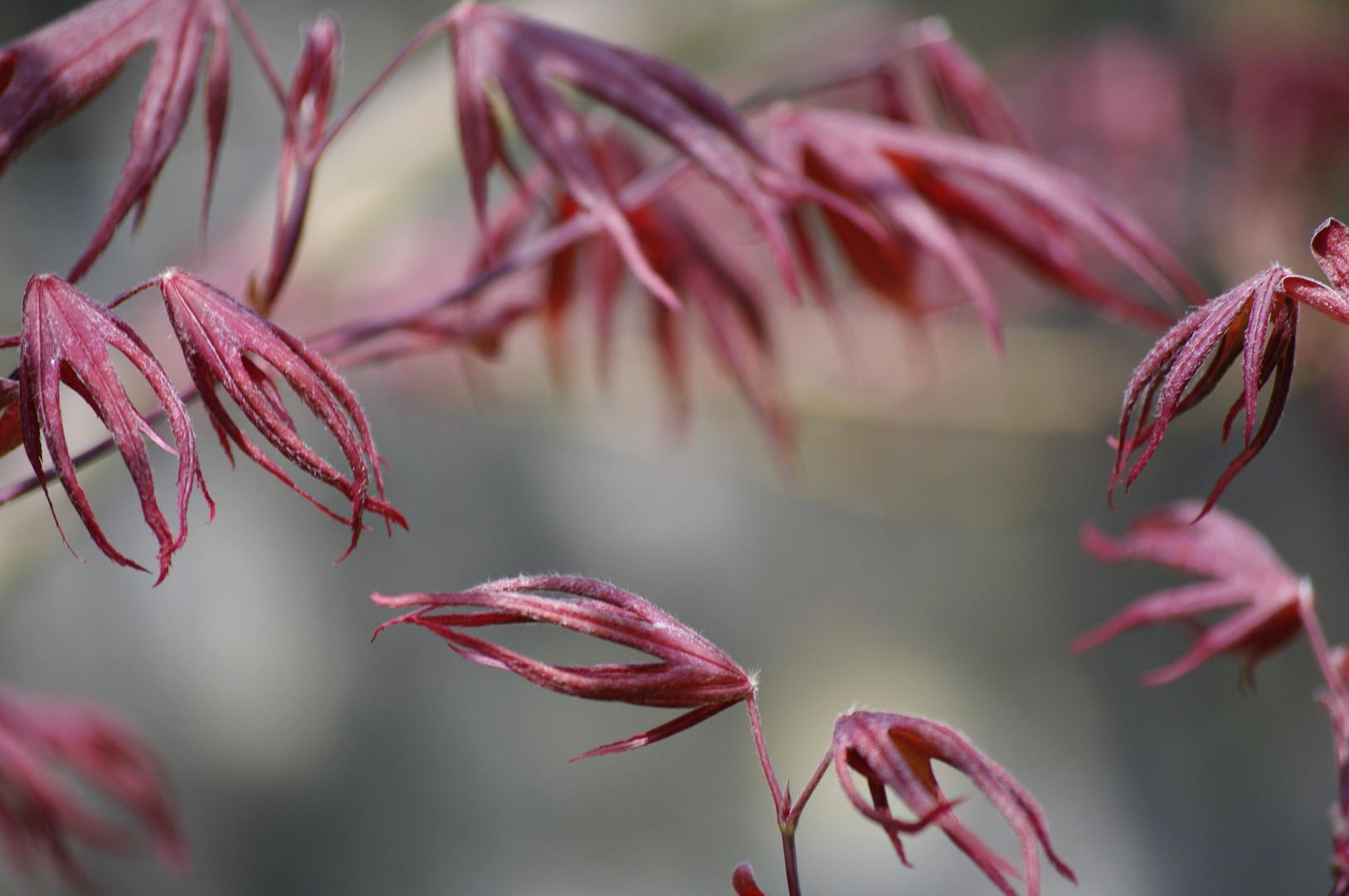 Tanz der roten Blätter