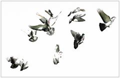 Tanz der Tauben